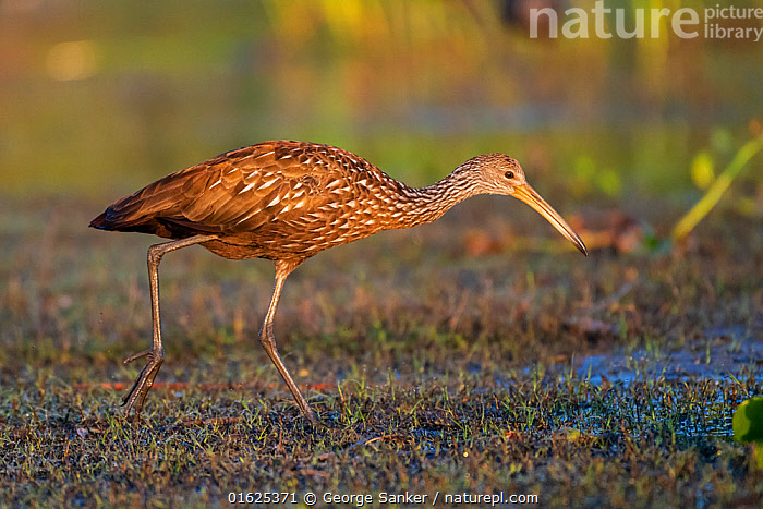 Limpkin (Aramus guarauna) foraging in evening light. Myakka River State Park, Florida, USA, March., Animal,Wildlife,Vertebrate,Bird,Birds,Limpkin,American,Animalia,Animal,Wildlife,Vertebrate,Aves,Bird,Birds,Gruiformes,Aramidae,Limpkin,Aramus,Aramus guarauna,Carrao,Courlan,Crying bird,Foraging,Length,Long,Lengthy,North America,USA,Southern USA,Southeast USA,Florida,Profile,Side View,Twilight,Evening,Freshwater,Wetland,Water Surface,Water,Feeding,Reserve,Protected area,State park,American,United States of America,Myakka River State Park,, George  Sanker