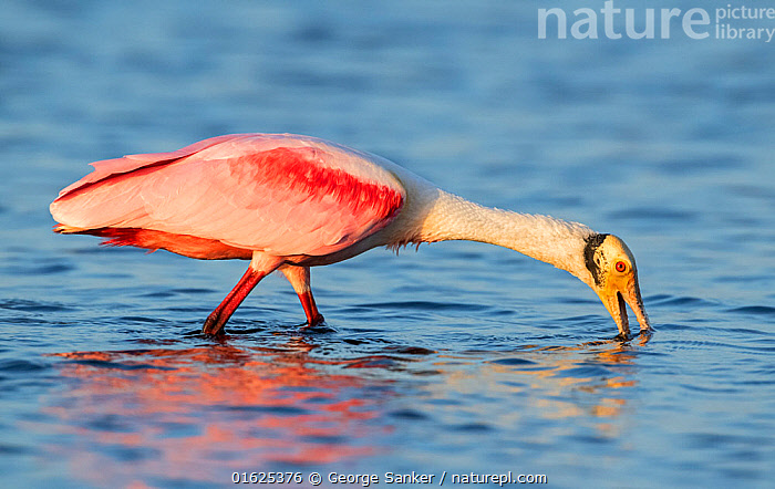 Roseate spoonbill (Platalea ajaja) feeding in evening light. Myakka River State Park, Florida, USA. February., Animal,Wildlife,Vertebrate,Bird,Birds,Spoonbill,Roseate spoonbill,American,Animalia,Animal,Wildlife,Vertebrate,Aves,Bird,Birds,Pelecaniformes,Threskiornithidae,Platalea,Spoonbill,Plataleinae,Platalea ajaja,Roseate spoonbill,Ajaia ajaja,Wading,Colour,Pink,North America,USA,Southern USA,Southeast USA,Florida,Profile,Side View,Mouth,Beak,Twilight,Evening,Freshwater,Wetland,Water Surface,Water,Feeding,Reserve,Protected area,Open Mouth,State park,American,United States of America,Myakka River State Park,, George  Sanker