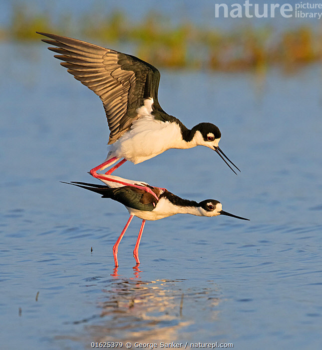 Black-necked stilt (Himantopus mexicanus) pair mating in morning light. Myakka River State Park, Florida, USA. February., Animal,Wildlife,Vertebrate,Bird,Birds,Wader,Stilt,Black necked stilt,American,Animalia,Animal,Wildlife,Vertebrate,Aves,Bird,Birds,Charadriiformes,Recurvirostridae,Wader,Shorebird,Himantopus,Stilt,Himantopus mexicanus,Black necked stilt,Himantopus himantopus mexicanus,Colour,Two,North America,USA,Southern USA,Southeast USA,Florida,Profile,Side View,Mouth,Beak,Wing,Freshwater,Wetland,Water Surface,Water,Animal Behaviour,Reproduction,Mating Behaviour,Copulation,Reserve,Male female pair,Behaviour,Protected area,Open Mouth,State park,American,United States of America,Myakka River State Park,Behavioural,Black and white,, George  Sanker