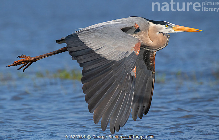 Great blue heron (Ardea herodias) in flight. Myakka River State Park, Florida, USA. February., Animal,Wildlife,Vertebrate,Bird,Birds,Typical heron,Great blue heron,American,Animalia,Animal,Wildlife,Vertebrate,Aves,Bird,Birds,Pelecaniformes,Ardeidae,Ardea,Typical heron,Heron,Ardeinae,Ardea herodias,Great blue heron,Flying,North America,USA,Southern USA,Southeast USA,Florida,Profile,Side View,Feather,Freshwater,Wetland,Water,Reserve,Flight feathers,Protected area,Wing feathers,State park,American,United States of America,Myakka River State Park,, George  Sanker