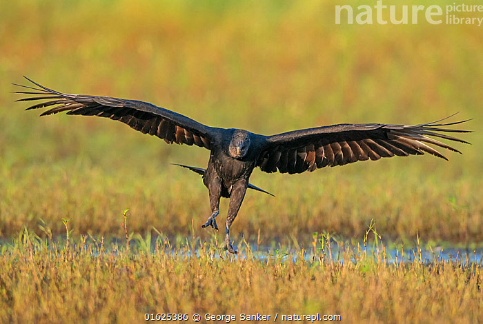 Black vulture (Coragyps atratus) landing with wings outstretched. Myakka River State Park, Florida, USA. February., Animal,Wildlife,Vertebrate,Bird,Birds,New world vulture,Vulture,Black vulture,American,Animalia,Animal,Wildlife,Vertebrate,Aves,Bird,Birds,Accipitriformes,Cathartidae,New world vulture,Coragyps,Vulture,Coragyps atratus,Black vulture,American black vulture,Flying,North America,USA,Southern USA,Southeast USA,Florida,Front View,Feather,Wing,Freshwater,Wetland,Water,Reserve,Flight feathers,Primaries,Protected area,Wings spread,Wingspan,Wing feathers,State park,American,United States of America,Myakka River State Park,Birds of Prey,Raptor,, George  Sanker