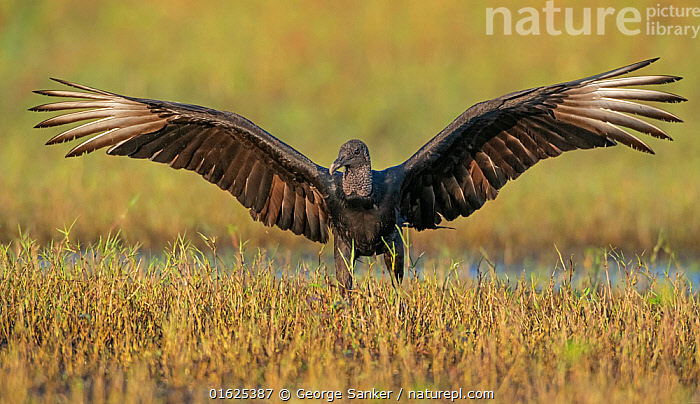 Black vulture (Coragyps atratus) landing with wings outstretched. Myakka River State Park, Florida, USA. February., Animal,Wildlife,Vertebrate,Bird,Birds,New world vulture,Vulture,Black vulture,American,Animalia,Animal,Wildlife,Vertebrate,Aves,Bird,Birds,Accipitriformes,Cathartidae,New world vulture,Coragyps,Vulture,Coragyps atratus,Black vulture,American black vulture,Landing,North America,USA,Southern USA,Southeast USA,Florida,Front View,Feather,Wing,Freshwater,Wetland,Water,Reserve,Flight feathers,Primaries,Protected area,Wings spread,Wingspan,Wing feathers,State park,American,United States of America,Myakka River State Park,Birds of Prey,Raptor,, George  Sanker