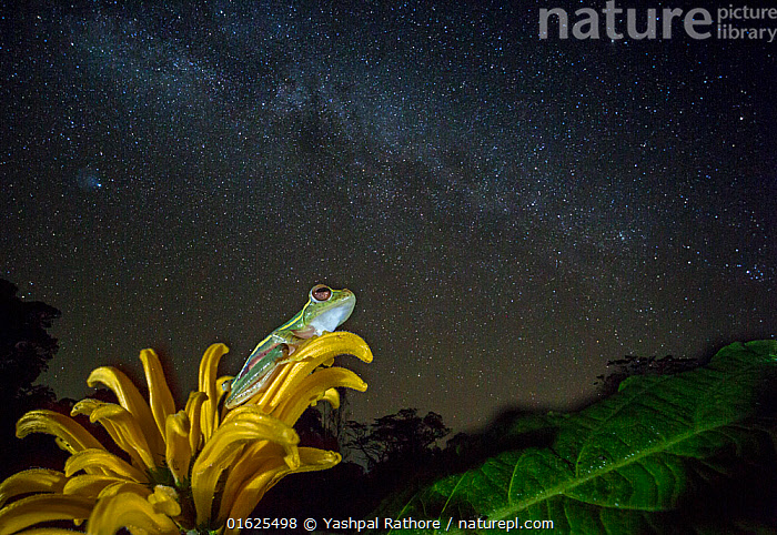 Small tree frog (Rhacophorus lateralis) at night under starry sky, Western Ghats. India. Endangered and endemic to Western Ghats., Animal,Wildlife,Vertebrate,Frog,Shrub frog,Boulenger&#39,s Tree Frog,Animalia,Animal,Wildlife,Vertebrate,Amphibia,Anura,Frog,Rhacophoridae,Shrub frog,Tree frog,Rhacophorus,Asia,Indian Subcontinent,India,Stars,Night,Endemic,Biodiversity hotspot,Western Ghats,Biodiversity hotspots,Amphibian,Rhacophorus lateralis,Boulenger&#39,s Tree Frog,Endangered species,Threatened,Endangered, Yashpal Rathore