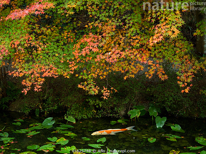Japanese koi carp (Cyprinus carpio) in pond with water lilies, Japan.  ,  Afternoon,Animal,Autumn,Fall,Leaf,Beautiful,Carp,Cloudy,Creature,Fish,Floating Weeds,Freshwater Fish,Gifu,Green,Impression,Itadori,Japan,Landscape,Nature,Nemichi Shrine,November,Nymphaea,Water Lily,One,Orange,Outdoors,Plant,Pond,Red,Seki Town,Showing,Through,Superb View,Transparency,Tree,Water,Waterside,Waterweed,White,no people,,Animal,Wildlife,Vertebrate,Ray-finned fish,Cyprinids,Typical carp,Common carp,Koi carp,Animalia,Animal,Wildlife,Vertebrate,Actinopterygii,Ray-finned fish,Osteichthyes,Bony fish,Fish,Cypriniformes,Cyprinidae,Cyprinids,Cyprinid fishes,Cryprinus,Typical carp,Cyprinus carpio,Common carp,Wild common carp,Variegated carp,Carpio vulgaris,Cyprinus chinensis,Cyprinus elatus,Mood,Calm,Asia,East Asia,Japan,Plant,Lilypads,Water Lilies,Beautiful,Freshwater,Pond,Water,Domestic animal,Domesticated,Biodiversity hotspot,Pet fish,Ornamental fish,Cyprinus rubrofuscus,Koi carp,Endangered species,threatened,Endangered  ,  Aflo