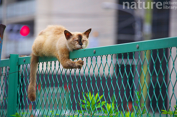 Stray cat resting on fence, Japan., Aichi Prefecture,Aichi-ken,Amazing,Animal,Brown,Building,By Force,Cat,Climbing,Cloudy,Corner,Creature,East Sea,Sea Of Japan,Fence,Impossible,Interesting,Interesting Pattern,Japan,July,Landscape,Mammalian,Mammal,Nagoya,Nap,One,Outdoors,Pattern,Phenomenal,Pose,Posture,Riding,Rising,Going Up,Road,Sleeping,Sleepy face,Face,Sleepy,Stray Cat,Street,Summer,Town,Traffic light,Unique,Unnatural,Unusual,Wire Mesh,Wonder,no people,animals,,Felis catus,Resting,Rest,Asia,East Asia,Japan,Animal,Stray Animal,Stray Animals,Strays,Domestic animal,Pet,Domestic Cat,Domesticated,Biodiversity hotspot,Felis catus,Cat,, Aflo