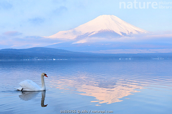Mount Fuji from Yamanashi Prefecture, with Mute swan (Cygnus olor) Lake Yamanaka, Kanto, Japan, Animal,Bird,Blue,Sky,Cloud,Creature,Cultural Heritage,East Sea,Sea Of Japan,Fuji,Mountain,Volcano,Fujisan,Fujiyama,Japan,Kanto,Lake,Surface,Landscape,March,Migratory Bird,Morning,Mount Fuji,Mt Fuji,Reflected,Nature,One,Outdoors,Reflection,Side view,Snow,Spring,Superb View,Swan,Swim,Water,Waterfowl,White,Wild bird,World heritage,Yamanakako,Lake Yamanaka,Yamanashi,Prefecture,no people,,Animal,Wildlife,Vertebrate,Bird,Birds,Water fowl,Waterfowl,True swan,Mute swan,Animalia,Animal,Wildlife,Vertebrate,Aves,Bird,Birds,Anseriformes,Water fowl,Galloanserans,Waterfowl,Anatidae,Cygnus,True swan,Swan,Cygninae,Anserinae,Cygnus olor,Mute swan,Asia,East Asia,Japan,Mountain,Volcano,Reflection,Freshwater,Lake,Water,Geology,Volcanic features,Biodiversity hotspot,Wildfowl, Aflo
