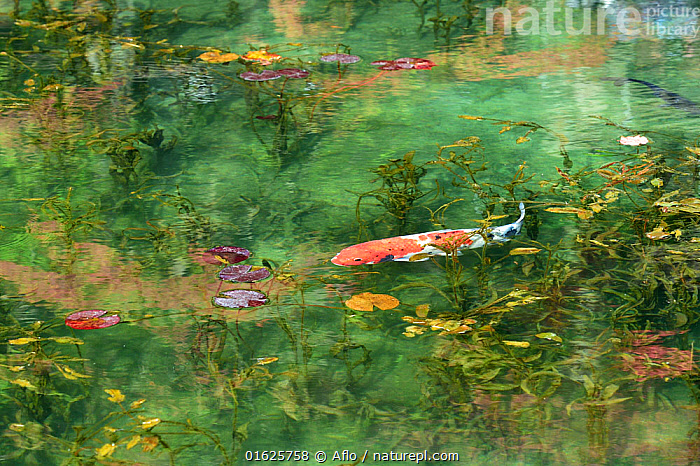 Koi carp in pond with water lily, Gifu Prefecture, Japan, Afternoon,Animal,Autumn,Fall,Leaf,Carp,Creature,Fish,Floating Weeds,Freshwater Fish,Gifu,Green,Japan,Landscape,Nature,Nemichi Shrine,Noon,October,One,Orange,Outdoors,Pond,Red,Seki Town,Shrine,Side view,Sunny,Superb View,Tourist Attraction,Water,Waterweed,White,no people,,Koi carp,Mood,Calm,Asia,East Asia,Japan,Animal,Plant,Lilypads,Water Lilies,Beautiful,Freshwater,Pond,Water,Domestic animal,Domesticated,Biodiversity hotspot,Pet fish,Fish,Ornamental fish,Cyprinus rubrofuscus,Koi carp,, Aflo