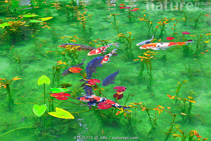 Japanese koi carp (Cyprinus carpio) in pond with water lilies, Japan., Animal,Blue,Carp,Claude Monet,Creature,Fantastic,Fish,Gifu,Japan,Landscape,Nature,Nemichi Shrine,Nymphaea,Water Lily,Outdoors,Pond,Seki Town,Summer,Superb View,Transparency,Water,no people,animals,,Animal,Wildlife,Vertebrate,Ray-finned fish,Cyprinids,Typical carp,Common carp,Koi carp,Animalia,Animal,Wildlife,Vertebrate,Actinopterygii,Ray-finned fish,Osteichthyes,Bony fish,Fish,Cypriniformes,Cyprinidae,Cyprinids,Cyprinid fishes,Cryprinus,Typical carp,Cyprinus carpio,Common carp,Wild common carp,Variegated carp,Carpio vulgaris,Cyprinus chinensis,Cyprinus elatus,Mood,Calm,Asia,East Asia,Japan,Plant,Lilypads,Water Lilies,Beautiful,Freshwater,Pond,Water,Domestic animal,Domesticated,Biodiversity hotspot,Pet fish,Ornamental fish,Cyprinus rubrofuscus,Koi carp,Endangered species,threatened,Endangered, Aflo