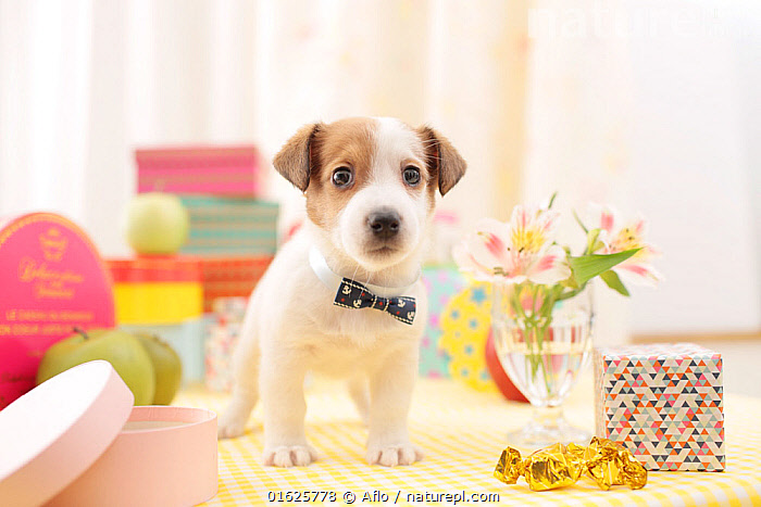 Jack Russell terrier puppy indoors with bow tie.  ,  Accessory,Animal,Apple,Box,Brown,Chandlery,Sundries,Collar,Creature,Cute,Dog,Flower,Front,Heal,Indoor,Innocence,Innocent,Jack Russell Terrier,Looking at camera,Mammalian,Mammal,Necklace,Object,One,Pet,Pink,Puppy,Ribbon,Small Animals,Stand,Studio Shot,Vase,White,Whole body,no people,animals,,Canis familiaris,Cute,Adorable,Animal,Young Animal,Baby,Baby Mammal,Puppy,Pup,Pups,Indoors,Domestic animal,Pet,Domestic Dog,Terrier,Medium Dog,Jack Russell Terrier,Domesticated,Canis familiaris,Dog,Mammal,Jack russell,  ,  Aflo