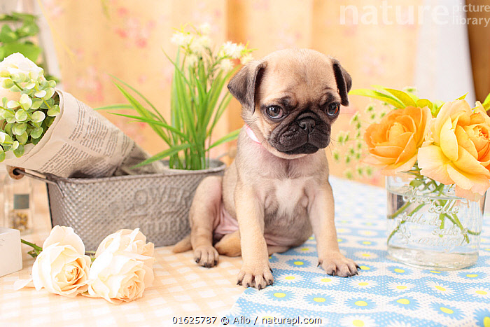 Pug puppy indoors with flowers., Animal,Children,Collar,Creature,Dog,Flower,Indoor,Looking at camera,Mammalian,Mammal,Natural,One,Pet,Pet Dog,Plant,Pug,Puppy,Rose,Sit,Small Dog,Studio Shot,Vase,Whole body,Yellow,no people,animals,,Canis familiaris,Cute,Adorable,Worried,Animal,Young Animal,Baby,Baby Mammal,Puppy,Pup,Pups,Indoors,Domestic animal,Pet,Domestic Dog,Toy dog,Small dog,Pug,Domesticated,Canis familiaris,Dog,Mammal,, Aflo