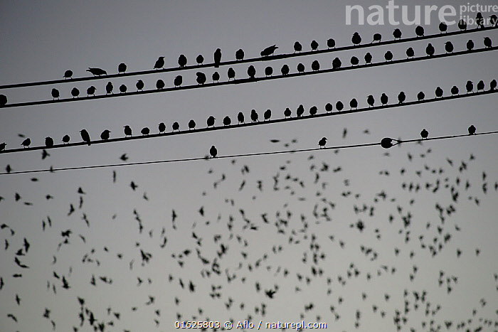Grey starling (Sturnus cineraceus) large group roosting on telephone wires. Japan., Animal,Bird,Creature,December,Electric Wire,Wire,Evening,Flying,Gregariousness,Group of objects,Herd,Japan,Koto,Night,Outdoors,Passeriformes,Silhouette,Stopping,Sturnidae,Tokyo,White-Cheeked Starling,Grey Starling,Sturnus Cineraceus,Wild bird,Winter,no people,animals,,Animal,Wildlife,Vertebrate,Bird,Birds,Songbird,Starling,White cheeked starling,Animalia,Animal,Wildlife,Vertebrate,Aves,Bird,Birds,Passeriformes,Songbird,Passerine,Sturnidae,Starling,Sturnus,Sturnus cineraceus,White cheeked starling,Grey starling,Ashy starling,Poliopsar cineraceus,Roosting,Roost,Group Of Animals,Flock,Group,Large Group,Asia,East Asia,Japan,Equipment,Electrical Equipment,Cable,Telephone Line,Phone Line,Phone Lines,Telephone Lines,Telephone Wire,Telephone Wires,Biodiversity hotspot,Perching,Murmuration,, Aflo