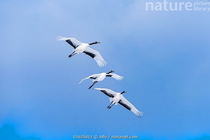 Japanese cranes (Grus Japonensis) three in flight, Hokkaido, Japan., Animal,Bird,Black,Blue,Sky,Bonds,Cloudy,Come Flying,Crane,Crane Eyes,Creature,Educational,February,Flapping,Flight,Flying,Gruidae,Hokkaido,Japan,Migratory Bird,Motion,Multiple,Nature,Noon,Outdoors,Red-Crowned Crane,Japanese Crane,Manchurian Crane,Grus Japonensis,Sunny,Three Animals,Tsurui,Tsurui Village,Tsurumidai,White,Wild bird,Winter,no people,animals,,Animal,Wildlife,Vertebrate,Bird,Birds,Crane,Japanese crane,Animalia,Animal,Wildlife,Vertebrate,Aves,Bird,Birds,Gruiformes,Gruidae,Crane,Grus,Grus japonensis,Japanese crane,Red crowned crane,Manchurian crane,Few,Three,Group,Asia,East Asia,Japan,Hokkaido,Sky,Biodiversity hotspot,Blue sky,Grus japonicus,Endangered species,threatened,Endangered, Aflo