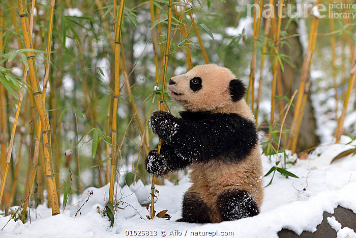 Giant panda (Ailuropoda melanoleuca) cub in snow among bamboo, Sichuan Giant Panda Centre, Sichuan, China., Animal,Asia,Bamboo Grass,China,Creature,Eating,Giant Panda,January,Mammalian,Mammal,Natural Reserve,Nature,One,Outdoors,Panda,Research Center,Sichuan,Sichuan Giant Panda Sanctuaries,Snow,Tree,Winter,no people,animals,,Animal,Wildlife,Vertebrate,Mammal,Carnivore,Bear,Giant panda,Animalia,Animal,Wildlife,Vertebrate,Mammalia,Mammal,Carnivora,Carnivore,Ursidae,Bear,Ailuropoda,Ailuropoda melanoleuca,Giant panda,Asia,East Asia,China,Young Animal,Baby,Baby Mammal,Cub,Snow,Feeding,Sichuan Province,Sichuan,Chengdu,Endangered species,threatened,Endangered, Aflo