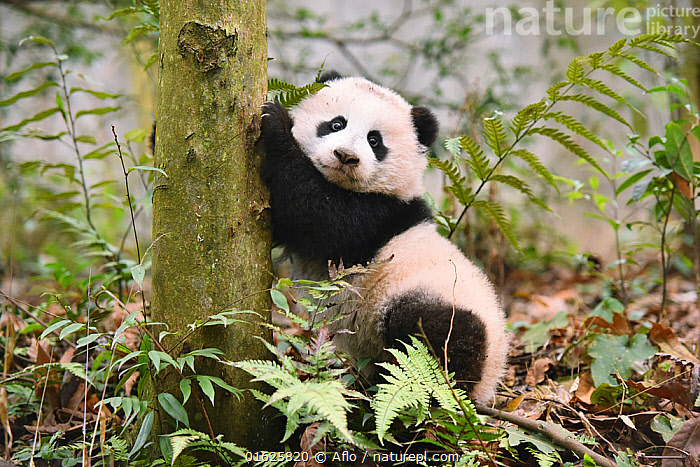 Giant panda (Ailuropoda melanoleuca) cub, Sichuan Giant Panda Centre, Sichuan, China., Animal,Asia,Baby,New Born,Infant,Black,Children,China,Creature,Cute,Expression,Giant Panda,Grass,Green,Looking at camera,Mammalian,Mammal,Natural Reserve,Noon,October,One,Outdoors,Panda,Research Center,Sichuan,Sichuan Giant Panda Sanctuaries,Sunny,Support,Surface level,Tree,White,no people,animals,,Animal,Wildlife,Vertebrate,Mammal,Carnivore,Bear,Giant panda,Animalia,Animal,Wildlife,Vertebrate,Mammalia,Mammal,Carnivora,Carnivore,Ursidae,Bear,Ailuropoda,Ailuropoda melanoleuca,Giant panda,Asia,East Asia,China,Young Animal,Baby,Baby Mammal,Cub,Sichuan Province,Sichuan,Chengdu,Endangered species,threatened,Endangered, Aflo