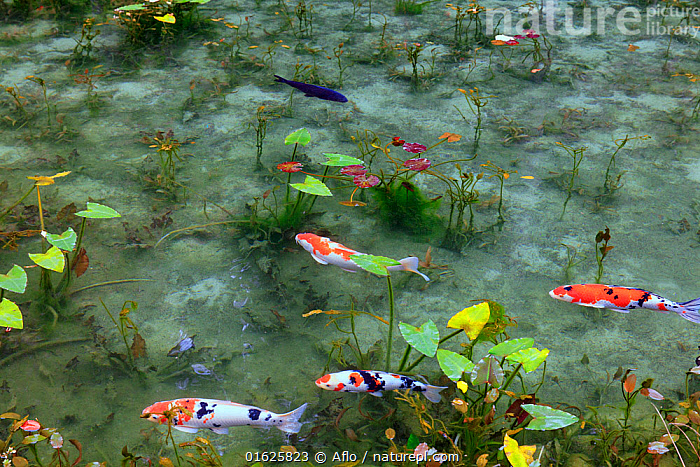 Japanese koi carp (Cyprinus carpio) in pond with water lilies, Japan., Animal,Autumn,Fall,Carp,Cloudy,Creature,Fish,Gifu,Itadori,Japan,Landscape,Nemichi Shrine,Noon,October,Outdoors,Pond,Seki Town,Superb View,no people,animals,,Animal,Wildlife,Vertebrate,Ray-finned fish,Cyprinids,Typical carp,Common carp,Koi carp,Animalia,Animal,Wildlife,Vertebrate,Actinopterygii,Ray-finned fish,Osteichthyes,Bony fish,Fish,Cypriniformes,Cyprinidae,Cyprinids,Cyprinid fishes,Cryprinus,Typical carp,Cyprinus carpio,Common carp,Wild common carp,Variegated carp,Carpio vulgaris,Cyprinus chinensis,Cyprinus elatus,Mood,Calm,Asia,East Asia,Japan,Plant,Lilypads,Water Lilies,Beautiful,Freshwater,Pond,Water,Domestic animal,Domesticated,Biodiversity hotspot,Pet fish,Ornamental fish,Cyprinus rubrofuscus,Koi carp,Endangered species,threatened,Endangered, Aflo