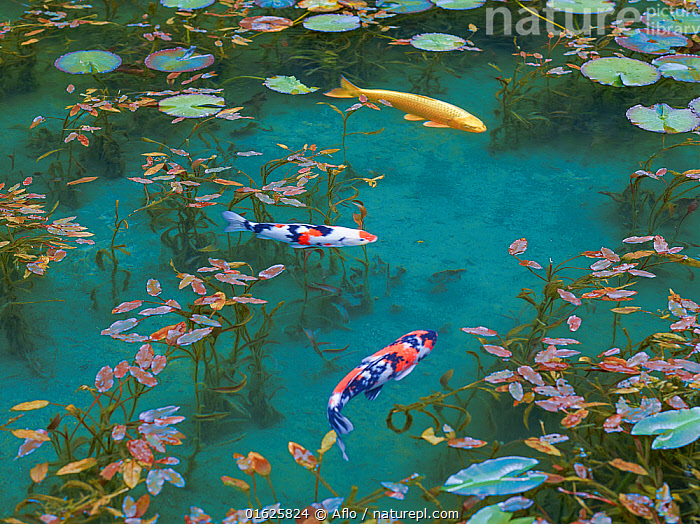 Japanese koi carp (Cyprinus carpio) in pond with water lilies, Japan., Animal,Autumn,Leaf,Barrier,Beautiful,Birds Eye View,Oblique,Black,Blue,Carp,Close-up,Colored Carp,Creature,Early,Summer,East Sea,Sea Of Japan,Emerald Blue,Emerald,Green,Fantastic,Fish,Float,Floating,Floating Weeds,Fountain,Freshwater Fish,Gifu,Grass,Itadori,Japan,May,Morning,Multiple,Nature,Nemichi Shrine,Nymphaea,Water Lily,Orange,Outdoors,Plant,Pond,Red,Reservoir,Seki Town,Showing,Through,Side view,Specialty,Spring,Springwater,Sunny,Superb View,Swim,Three Animals,Tourist Attraction,Transparency,Water,Waterweed,White,no people,animals,,Animal,Wildlife,Vertebrate,Ray-finned fish,Cyprinids,Typical carp,Common carp,Koi carp,Animalia,Animal,Wildlife,Vertebrate,Actinopterygii,Ray-finned fish,Osteichthyes,Bony fish,Fish,Cypriniformes,Cyprinidae,Cyprinids,Cyprinid fishes,Cryprinus,Typical carp,Cyprinus carpio,Common carp,Wild common carp,Variegated carp,Carpio vulgaris,Cyprinus chinensis,Cyprinus elatus,Mood,Calm,Asia,East Asia,Japan,Plant,Lilypads,Water Lilies,Beautiful,Freshwater,Pond,Water,Domestic animal,Domesticated,Biodiversity hotspot,Pet fish,Ornamental fish,Cyprinus rubrofuscus,Koi carp,Endangered species,threatened,Endangered, Aflo