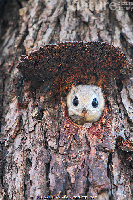 Japanese dwarf flying squirrel (Pteromys momonga) looking out of hole in tree, Hokkaido, Japan., Animal,Burrow,Close-up,Creature,Cute,Face,Flying Squirrel,Front,Hokkaido,Hole,Japan,Looking at camera,March,Nature,Obihiro,One,Outdoors,Plant,Siberian Flying Squirrel,Pteromys Volans,Small Animals,Spring,Stem,Tree,Wildlife,Wooden Surface,Wood Surface,no people,animals,,Animal,Wildlife,Vertebrate,Mammal,Rodent,Old World flying squirrel,Japanese Flying Squirrel,Animalia,Animal,Wildlife,Vertebrate,Mammalia,Mammal,Rodentia,Rodent,Sciuridae,Pteromys,Old World flying squirrel,Pteromys momonga,Japanese Flying Squirrel,Small Japanese Flying-squirrel,Pteromys amygdali,Pteromys interventus,Pteromys momoga,Cute,Adorable,Asia,East Asia,Japan,Plant,Tree,Animal Eye,Eyes,Animal Home,Nest,Hole,Biodiversity hotspot,, Aflo