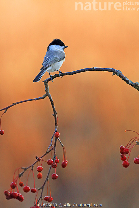 Marsh tit (Poecile palustris) perched on Staff vine (Celastrus) with berries. Kushiro Town, Hokkaido, Japan., Animal,Autumn,Fall,Bird,Branch,Close-up,Creature,Fruit,Hokkaido,Japan,Kushiro District,Kushiro Town,Marsh Tit,Nature,November,Nut,One,Outdoors,Plant,Red,Staff Vine,Staff Tree,Bittersweet,Celastrus,no people,animals,,Animal,Wildlife,Vertebrate,Bird,Birds,Songbird,Tit,Marsh tit,Animalia,Animal,Wildlife,Vertebrate,Aves,Bird,Birds,Passeriformes,Songbird,Passerine,Paridae,Tit,Poecile,Poecile palustris,Marsh tit,Parus palustris,Asia,East Asia,Japan,Profile,Side View,Plant,Berry,Fruit,Biodiversity hotspot,, Aflo