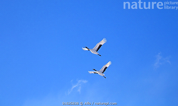 Japanese cranes (Grus Japonensis) in flight, Hokkaido, Japan., Akan County,Animal,Bird,Blue,Sky,Cloud,Crane,Creature,Flying,Hokkaido,Japan,Landscape,March,Nature,Outdoors,Red-Crowned Crane,Japanese Crane,Manchurian Crane,Grus Japonensis,Spring,Tsurui Village,Two,no people,animals,,Animal,Wildlife,Vertebrate,Bird,Birds,Crane,Japanese crane,Animalia,Animal,Wildlife,Vertebrate,Aves,Bird,Birds,Gruiformes,Gruidae,Crane,Grus,Grus japonensis,Japanese crane,Red crowned crane,Manchurian crane,Flying,Roosting,Roost,Group Of Animals,Flock,Group,Large Group,Asia,East Asia,Japan,Hokkaido,Equipment,Electrical Equipment,Cable,Telephone Line,Phone Line,Phone Lines,Telephone Lines,Telephone Wire,Telephone Wires,Sky,Biodiversity hotspot,Blue sky,Perching,Murmuration,Grus japonicus,Endangered species,threatened,Endangered, Aflo