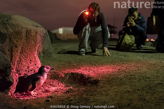 Little penguin (Eudyptula minor) lit in red light by Earthcare St Kilda guide for watching tourists. St Kilda breakwater, Melbourne, Victoria, Australia. September 2016., Animal,Wildlife,Vertebrate,Bird,Birds,Penguin,Little penguin,Animalia,Animal,Wildlife,Vertebrate,Aves,Bird,Birds,Sphenisciformes,Penguin,Seabird,Spheniscidae,Eudyptula,Eudyptula minor,Little penguin,Fairy penguin,Blue penguin,Little blue penguin,Capturing An Image,Photographing,Standing,People,Tourist,Tourists,Australasia,Australia,Victoria,Melbourne,Photography,Artifical light,Electric Light,Flashlight,Flashlights,Torch,Torches,Night,Travel,Tourism,St Kilda,Flightless, Doug Gimesy