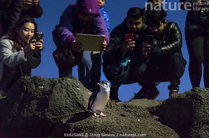 Little penguin (Eudyptula minor) on rock, tourists crowding round to take photographs. St Kilda breakwater, St Kilda Pier, Melbourne, Victoria, Australia. June 2016., Animal,Wildlife,Vertebrate,Bird,Birds,Penguin,Little penguin,Animalia,Animal,Wildlife,Vertebrate,Aves,Bird,Birds,Sphenisciformes,Penguin,Seabird,Spheniscidae,Eudyptula,Eudyptula minor,Little penguin,Fairy penguin,Blue penguin,Little blue penguin,Capturing An Image,Photographing,People,Tourist,Tourists,Australasia,Australia,Victoria,Melbourne,Photography,Rock,Boulder,Boulders,St Kilda,Flightless, Doug Gimesy