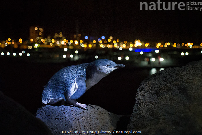 Little penguin (Eudyptula minor) standing on boulder of St Kilda breakwater at night, Melbourne skyline in background. Victoria, Australia. May 2014., Animal,Wildlife,Vertebrate,Bird,Birds,Penguin,Little penguin,Animalia,Animal,Wildlife,Vertebrate,Aves,Bird,Birds,Sphenisciformes,Penguin,Seabird,Spheniscidae,Eudyptula,Eudyptula minor,Little penguin,Fairy penguin,Blue penguin,Little blue penguin,Standing,Dark,Australasia,Australia,Victoria,Melbourne,Skyline,Skylines,Rock,Boulder,Boulders,Night,St Kilda,Flightless, Doug Gimesy