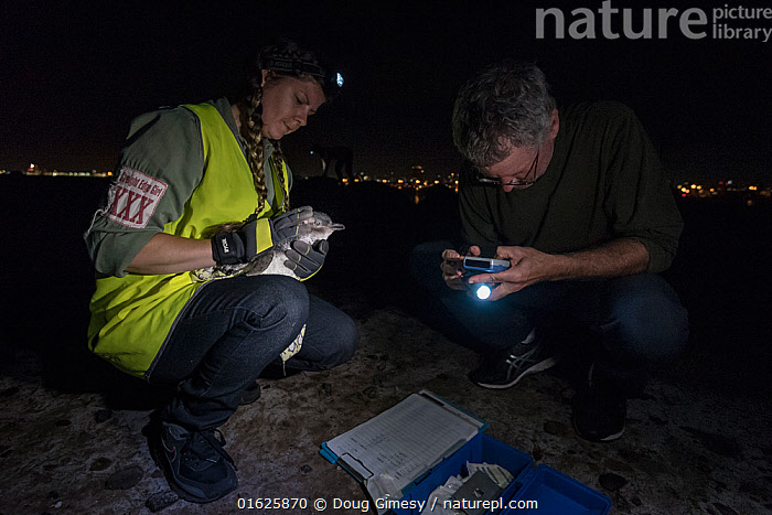 Earthcare St Kilda penguin research volunteers with Little penguin (Eudyptula minor) checking for microchip and determining sex and weight. St Kilda breakwater, Melbourne, Victoria, Australia. January 2017. Model released., Animal,Wildlife,Vertebrate,Bird,Birds,Penguin,Little penguin,Animalia,Animal,Wildlife,Vertebrate,Aves,Bird,Birds,Sphenisciformes,Penguin,Seabird,Spheniscidae,Eudyptula,Eudyptula minor,Little penguin,Fairy penguin,Blue penguin,Little blue penguin,Recording,People,Woman,Man,Research,Researching,Dark,Australasia,Australia,Victoria,Melbourne,Clipboard,Clip Board,Clip Boards,Clip-Board,Clip-Boards,Clipboards,Artifical light,Electric Light,City,Ocean,Indian Ocean,Night,Science,Marine,Water,Conservation,Saltwater,Head torch,Microchip,Researcher,Monitoring,St Kilda,Bass Strait,Port Phillip Bay,Flightless, Doug Gimesy
