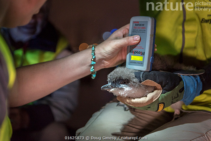 Researchers from Earthcare St Kilda scanning a moulting Little penguin (Eudyptula minor) for microchip. Population monitoring has been taking place since the 1970s. St Kilda breakwater, Melbourne, Victoria, Australia. January 2017., Animal,Wildlife,Vertebrate,Bird,Birds,Penguin,Little penguin,Animalia,Animal,Wildlife,Vertebrate,Aves,Bird,Birds,Sphenisciformes,Penguin,Seabird,Spheniscidae,Eudyptula,Eudyptula minor,Little penguin,Fairy penguin,Blue penguin,Little blue penguin,Research,Researching,Australasia,Australia,Victoria,Melbourne,Night,Science,Conservation,Microchip,Monitoring,St Kilda,Flightless, Doug Gimesy