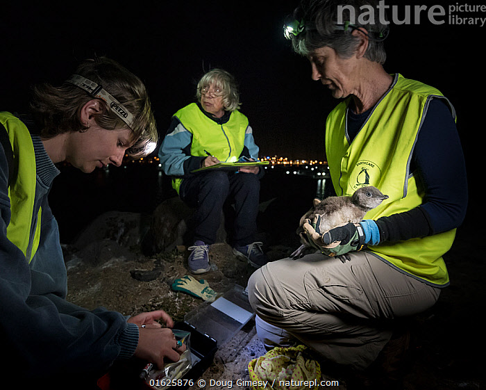 Researchers from Earthcare St Kilda preparing to microchip a moulting Little penguin (Eudyptula minor). Bill diameter will be measured to determine sex. St Kilda breakwater, Melbourne, Victoria, Australia. December 2016. Model released., Animal,Wildlife,Vertebrate,Bird,Birds,Penguin,Little penguin,Animalia,Animal,Wildlife,Vertebrate,Aves,Bird,Birds,Sphenisciformes,Penguin,Seabird,Spheniscidae,Eudyptula,Eudyptula minor,Little penguin,Fairy penguin,Blue penguin,Little blue penguin,Bird Ringing,People,Woman,Research,Researching,Group,Group Of People,Small Group Of People,Few,Dark,Australasia,Australia,Victoria,Melbourne,Artifical light,Electric Light,Night,Science,Conservation,Volunteer,Volunteering,Volunteers,Head torch,Microchip,Monitoring,St Kilda,Flightless, Doug Gimesy
