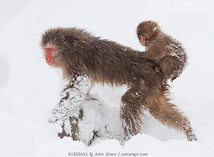 Snow monkey or Japanese macaque (Macaca fuscata) female with baby clinging to her back. Jigokudani, Japan, February.  ,  Animal,Wildlife,Vertebrate,Mammal,Monkey,Macaque,Japanese macaque,Animalia,Animal,Wildlife,Vertebrate,Mammalia,Mammal,Primate,Primates,Cercopithecidae,Monkey,Old World Monkeys,Macaca,Macaque,Papionini,Macaca fuscata,Japanese macaque,Asia,East Asia,Japan,Young Animal,Baby,Female animal,Family,Mother baby,Mother,Biodiversity hotspot,Parent baby,,catalogue12  ,  John Shaw
