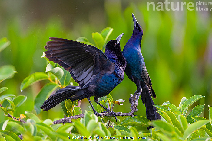 Common grackle pair (Quiscalus quiscula) in courtship display. Wakodahatchee Wetlands, Florida, USA, April., Animal,Wildlife,Vertebrate,Bird,Birds,Songbird,New world blackbird,Grackle,Common grackle,American,Animalia,Animal,Wildlife,Vertebrate,Aves,Bird,Birds,Passeriformes,Songbird,Passerine,Icteridae,New world blackbird,Icterid,Quiscalus,Grackle,Quiscalus quiscula,Common grackle,Gracula quiscula,Courting,North America,USA,Southern USA,Southeast USA,Florida,Wetland,Animal Behaviour,Reproduction,Mating Behaviour,Courtship,Display,Behaviour,Displaying,American,United States of America,Behavioural,,catalogue12, John Shaw