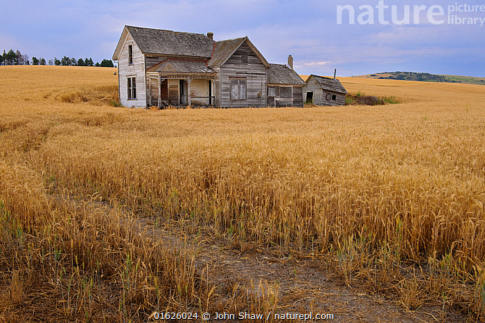 Abandoned house in middle of a wheat field. Palouse farming area, south eastern Washington, USA, August.  ,  Abandoned,Agave,Agave amaniensis,Agave rigida var. sisalana,Agave segurae,Agave sisalana,Agricultural Land,Amaranthaceae,American,Angiosperm,Angiospermae,Asparagaceae,Asparagales,Asteranae,Asterid,Avena,Beet,Beet plant,Beetroot,Beta,Beta crispa,Beta maritima,Beta vulgaris,Brassica,Brassica alba,Brassica hirta,Brassica napus,Brassica praecox,Brassica rutabaga,Brassicaceae,Brassicales,Bread wheat,Buckwheat,Building,Cabbage,Cabbage family,Cacao minar,Cacao tree,Caryophyllales,Caryophyllanae,catalogue12,Centrospermae,Chenopodiaceae,Cocoa tree,Coffea,Coffee,Common beet,Common buckwheat,Common wheat,Crop,Crops,Crucifer,Crucifera napus,Cruciferae,Cruciferous vegetable,Cultivated Land,Dicot,Dicotyledon,Edible,Fagopyrum,Fagopyrum esculentum,Fagopyrum fagopyrum,Fagopyrum sagittatum,Fagopyrum vulgare,Farmhouse,Farmhouses,Farmland,Field,Flowering plant,Gentianales,Gramineae,Grass,House,Houses,Knotweed,Lamiales,Landscape,Lilianae,Magnoliopsida,Mallow,Malvaceae,Malvales,Mauve,Monocot,Monocotyledon,Mustard,Mustard flower,North America,Oat,Oil plant rape,Oilplant rape,Olea,Olea europaea,Oleaceae,Olive tree,Pigweed,Plant,plant plant,Plantae,Poaceae,Poales,Polygonaceae,Polygonum fagopyrum,Produce,Rape,Rapeplant,Residential Structure,Rorippa coloradensis,Rosanae,Rosid,Rubiaceae,Sinapis alba,Sinapsis,Sisal,Sisal hemp,Smartweed,Spermatophyte,Spermatophytina,Theobroma,Theobroma cacao,Theobroma caribaea,Theobroma leiocarpum,Theobroma pentagonum,Theobroma sativum,Tracheophyta,Triticum,Triticum aestivum,True grass,United States of America,USA,Vascular plant,Vegetable,Vegetables,Washington,Western USA,Wheat,White mustard plant  ,  John Shaw