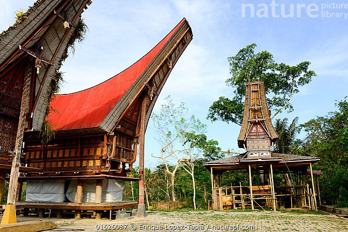 Traditional houses in Tana Toraja village, South Sulawesi, Indonesia. 2015., People,Asian Ethnicity,Asian,Asians,Traditional,Asia,South East Asia,Indonesia,Stilts,Building,Residential Structure,House,Houses,Roof,Roofs,Rooftop,Rooftops,Biodiversity hotspot,Sulawesi,Wallacea,South Sulawesi,Indonesian Ethnicity,Toraja,Tana Toraja,, Enrique Lopez-Tapia