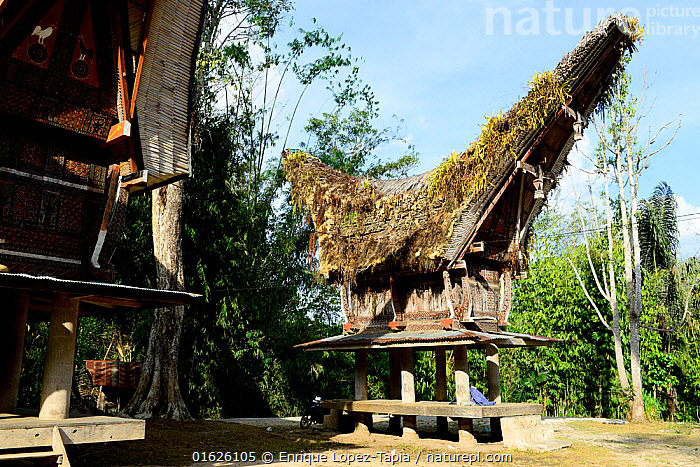 Traditional houses in Tana Toraja. Toraja is an ethnic group in West and South Sulawesi. Indonesia. 2015., People,Asian Ethnicity,Asian,Asians,Asia,South East Asia,Indonesia,Stilts,Building,Residential Structure,House,Houses,Roof,Roofs,Rooftop,Rooftops,Thatched Roof,Thatch,Thatched,Thatched Roofs,Thatches,Architecture,Biodiversity hotspot,Sulawesi,Wallacea,South Sulawesi,Indonesian Ethnicity,Toraja,Tana Toraja,, Enrique Lopez-Tapia