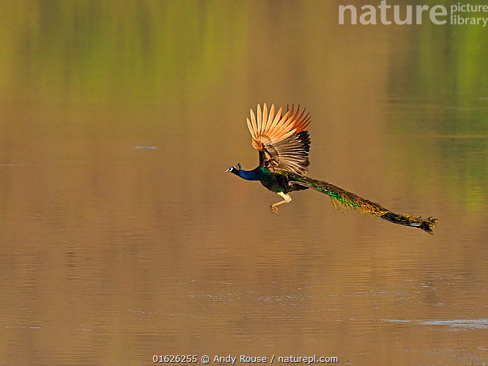 Indian peafowl (Pavo cristatus) male flying over water. Ranthambhore National Park, India.  ,  Animal,Wildlife,Vertebrate,Bird,Birds,Peafowl,Common peafowl,Animalia,Animal,Wildlife,Vertebrate,Aves,Bird,Birds,Galliformes,Galliforms,Galloanserae,Phasianidae,Pavo,Peafowl,Peacock,Peahen,Phasianinae,Pavo cristatus,Common peafowl,Indian peafowl,Blue peafowl,Indian peacock,Flying,Asia,Indian Subcontinent,India,Copy Space,Male Animal,Peacocks,Feather,Tail,Wing,Freshwater,Water,Reserve,Flight feathers,Protected area,National Park,Rajasthan,Negative space,Wing feathers,Ranthambore National Park,  ,  Andy Rouse