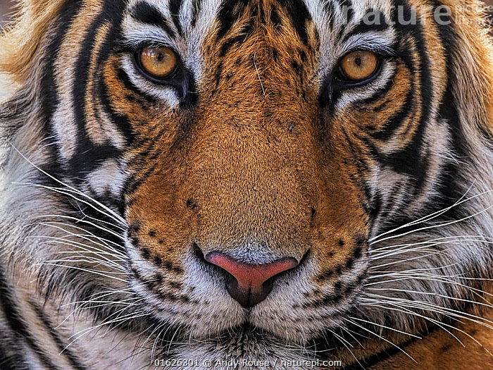 Bengal tiger (Panthera tigris) male, sub-adult aged three years, face portrait. Ranthambhore National Park, India.  ,  Animal,Wildlife,Vertebrate,Mammal,Carnivore,Cat,Big cat,Tiger,Animalia,Animal,Wildlife,Vertebrate,Mammalia,Mammal,Carnivora,Carnivore,Felidae,Cat,Panthera,Big cat,Panthera tigris,Tiger,Felis tigris,Tigris striatus,Tigris regalis,Asia,Indian Subcontinent,India,Full Frame,Headshot,Headshots,Close Up,Front View,Portrait,Young Animal,Male Animal,Animal Eye,Eyes,Animal Nose,Reserve,Protected area,National Park,Direct Gaze,Rajasthan,Ranthambore National Park,Sub-Adult,Endangered species,threatened,Endangered  ,  Andy Rouse