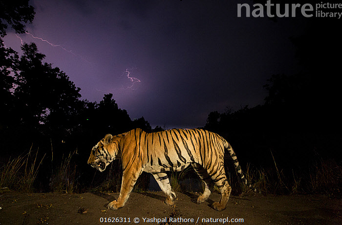 Bengal tiger (Panthera tigris tigris) walking at night, with monsoon clouds and lightning. Kanha National Park, Central India. Dominant male (T29), Yashpal Rathore
