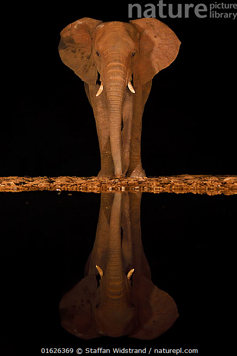 RF - African bush elephant, (Loxodonta africana) at night, reflected in waterhole, South Africa  ,  Animal,Wildlife,Vertebrate,Mammal,Elephant,African elephants,African elephant,Animalia,Animal,Wildlife,Vertebrate,Mammalia,Mammal,Proboscidea,Elephantidae,Elephant,Loxodonta,African elephants,Loxodonta africana,African elephant,Symmetry,Africa,Southern Africa,South Africa,Reflection,Water Hole,Water Holes,Night,Freshwater,Water,Drinking,Reserve,Protected area,South African,KwaZulu-Natal Province,RF,Royalty free,RF5,Endangered species,threatened,Endangered  ,  Staffan Widstrand