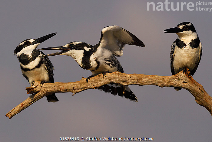RF - Pied kingfisher (Ceryle rudis) group of three perched on branch, squabbling, Zimanga Private Nature Reserve, KwaZulu Natal, South Africa  ,  Animal,Wildlife,Vertebrate,Bird,Birds,Water kingfisher,Pied kingfisher,Animalia,Animal,Wildlife,Vertebrate,Aves,Bird,Birds,Coraciiformes,Cerylidae,Water kingfisher,Kingfisher,Ceryle,Ceryle rudis,Pied kingfisher,Lesser pied kingfisher,Small pied kingfisher,Few,Three,Group,Africa,Southern Africa,South Africa,Animal Behaviour,Reserve,Behaviour,Protected area,South African,Squabbling,Squabble,KwaZulu-Natal Province,Behavioural,  ,  Staffan Widstrand