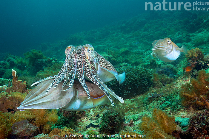 Pharaoh cuttlefish (Sepia pharaonis) pair in courtship, male with stripes. Smaller male in background. Gato Island, off Malapascua, Cebu, Philippines.  ,  Doug Perrine