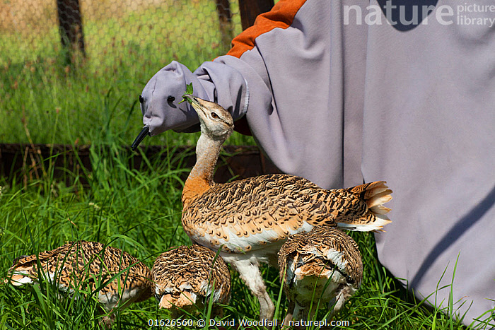 Great Bustard chicks (Otis tarda) fed by man dressed as a surrogate with a puppet hand, Salisbury, Wiltshire, England, UK, July 2017.  ,  Animal,Wildlife,Vertebrate,Bird,Birds,Bustard,Great bustard,Animalia,Animal,Wildlife,Vertebrate,Aves,Bird,Birds,Gruiformes,Otididae,Bustard,Otidae,Otis,Otis tarda,Great bustard,People,Man,Europe,Western Europe,UK,Great Britain,England,Wiltshire,Young Animal,Baby,Chick,Conservation,Wildlife conservation,Reintroduction,Reintroduced,Endangered species,threatened,Vulnerable  ,  David  Woodfall