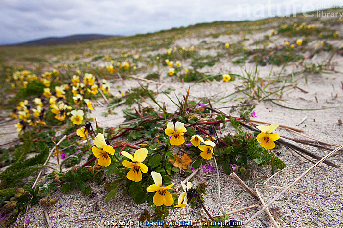 Seaside pansy (Viola tricolor curtisii) growing on cultivated machair North Uist, Outer Hebrides, Scotland, UK, June.  ,  Plant,Vascular plant,Flowering plant,Rosid,Violet,Heartsease,Sweet violet,Plantae,Plant,Tracheophyta,Vascular plant,Magnoliopsida,Flowering plant,Angiosperm,Seed plant,Spermatophyte,Spermatophytina,Angiospermae,Malpighiales,Rosid,Dicot,Dicotyledon,Rosanae,Violaceae,Viola,Violet,Viola tricolor,Heartsease,Heart&#39,s ease,Wild pansy,Pansy violet,Colour,Yellow,Europe,Western Europe,UK,Great Britain,Scotland,Outer Hebrides,Flower,Hebrides,Scottish islands,Scottish isles,Sweet violet,Machair,  ,  David  Woodfall