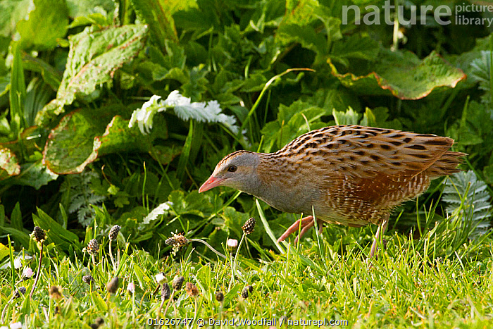 Corncrake (Crex crex) walking at dawn on Machair, North Uist, Scotland, UK, June., Animal,Wildlife,Vertebrate,Bird,Birds,Corncrake,Animalia,Animal,Wildlife,Vertebrate,Aves,Bird,Birds,Gruiformes,Rallidae,Crex,Crake,Crex crex,Corncrake,Europe,Western Europe,UK,Great Britain,Scotland,Outer Hebrides,Hebrides,Scottish islands,Scottish isles,, David  Woodfall