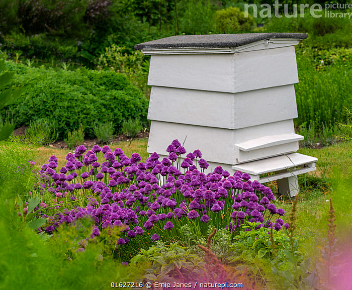 Traditional beehive in herb garden, Norfolk, England, UK, May.  ,  Plant,Vascular plant,Flowering plant,Monocot,Chives,Plantae,Plant,Tracheophyta,Vascular plant,Magnoliopsida,Flowering plant,Angiosperm,Seed plant,Spermatophyte,Spermatophytina,Angiospermae,Asparagales,Monocot,Monocotyledon,Lilianae,Amaryllidaceae,Allium,Onion,Colour,Purple,May,Europe,Western Europe,UK,Great Britain,England,Norfolk,Animal,Flower,Animal Home,Garden,Nest,Beehive,Beehives,Summer,Allium schoenoprasum,Chives,Allium materculae,  ,  Ernie  Janes