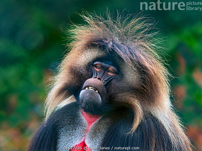 Nature Picture Library - Gelada Baboon (Theropithecus gelada) male ...