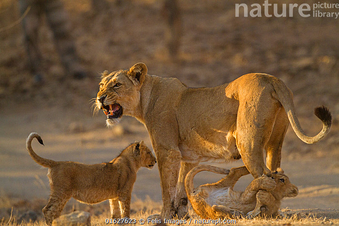 Asiatic lion (Panthera leo persica), female and cubs in morning light, cub biting mother's leg. Gir National Park, Gujarat, India. Photo� Phillip Ross/Felis Images  ,  Animal,Wildlife,Vertebrate,Mammal,Carnivore,Cat,Big cat,Lion,Asiatic lion,Gir lion,Catalogue13,Animalia,Animal,Wildlife,Vertebrate,Mammalia,Mammal,Carnivora,Carnivore,Felidae,Cat,Panthera,Big cat,Panthera leo,Vocalisation,Growling,Few,Three,Group,Asia,Indian Subcontinent,India,Young Animal,Baby,Baby Mammal,Cub,Female animal,Lioness,Lionesses,Animal Behaviour,Playing,Reserve,Lion,Asiatic lion,Gir lion,Family,Mother baby,Mother,Protected area,National Park,Gujarat,Parent baby,Three Animals,Female and offspring,Gir Forest National Park,Gir National Park,Catalogue13,Animals,Vertebrates,Chordates,Mammals,Carnivores,Cats,Big cats,Groups,Young Animals,Baby Animals,Cubs,Lions,Families,Plays,Reserves,Babies,National parks,Female Animals,Animal,Wildlife,Vertebrate,Mammal,Carnivore,Cat,Big cat,Lion,Asiatic lion,Gir lion  ,  Felis Images
