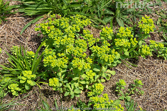 Sun spurge (Euphorbia helioscopia) annual arable plant flowering in waste arable ground, Berkshire, July, sun,spurge,Euphorbia,helioscopia,flower,flowers,flowering,plant,plants,annual,arable,herbaceaeous,weed,waste,ground,cultivated,green,yellow,bracts,delicate,angiosperm,eudicot,dicotyledon,Euphorbiaceae,agriculture,garden,weeds,Berkshire,England,UK,July,,Plant,Vascular plant,Flowering plant,Rosid,Spurge,Sun Spurge,Plantae,Plant,Tracheophyta,Vascular plant,Magnoliopsida,Flowering plant,Angiosperm,Seed plant,Spermatophyte,Spermatophytina,Angiospermae,Malpighiales,Rosid,Dicot,Dicotyledon,Rosanae,Euphorbiaceae,Spurge,Euphorb,Euphorbia,Euphorbieae,Europe,Western Europe,UK,Great Britain,England,Berkshire,Euphorbia helioscopia,Sun Spurge,, Nigel Cattlin