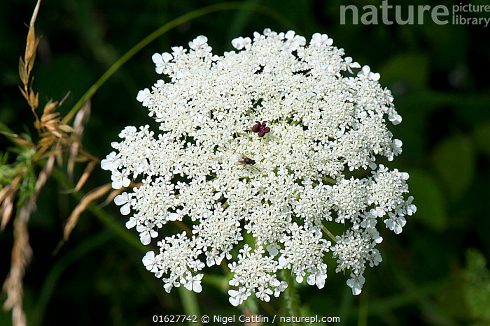 Wild carrot / Queen Anne's lace (Daucus carota) dense white umbel with insects and a single dark red maroon floret in the centre., wild,carrot,Queen Annes Lace,birds nest,bishops lace,Daucus,carota,Apiaceae,herbaceous,biennial,dense,white,flower,flowers,flowering,umble,weed,angiosperm,eudicot,dicotyledon,insect,pollinators,foragers,foraging,maroon,purple,single,floret,central,centre,Berkshire,England,UK,July,,Plant,Vascular plant,Flowering plant,Asterid,Carrot family,Wild carrot,Plantae,Plant,Tracheophyta,Vascular plant,Magnoliopsida,Flowering plant,Angiosperm,Seed plant,Spermatophyte,Spermatophytina,Angiospermae,Apiales,Asterid,Dicot,Dicotyledon,Asteranae,Apiaceae,Carrot family,Parsley family,Umbelliferae,Daucus,Daucus carota,Wild carrot,Bird&#39,s nest,Queen Anne&#39,s lace,Caucalis carota,Carota sylvestris,Daucus maritimus,Edible,Vegetable, Nigel Cattlin