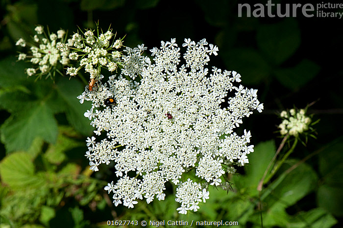 Wild carrot / Queen Anne's lace (Daucus carota) dense white umbel with insects and a single dark red maroon floret in the centre. Berkshire, England, UK., wild,carrot,Queen Annes Lace,birds nest,bishops lace,Daucus,carota,Apiaceae,herbaceous,biennial,dense,white,flower,flowers,flowering,umble,weed,angiosperm,eudicot,dicotyledon,insect,pollinators,foragers,foraging,maroon,purple,single,floret,central,centre,Berkshire,England,UK,July,,Plant,Vascular plant,Flowering plant,Asterid,Carrot family,Wild carrot,Plantae,Plant,Tracheophyta,Vascular plant,Magnoliopsida,Flowering plant,Angiosperm,Seed plant,Spermatophyte,Spermatophytina,Angiospermae,Apiales,Asterid,Dicot,Dicotyledon,Asteranae,Apiaceae,Carrot family,Parsley family,Umbelliferae,Daucus,Daucus carota,Wild carrot,Bird&#39,s nest,Queen Anne&#39,s lace,Caucalis carota,Carota sylvestris,Daucus maritimus,Europe,Western Europe,UK,Great Britain,England,Berkshire,Edible,Vegetable, Nigel Cattlin