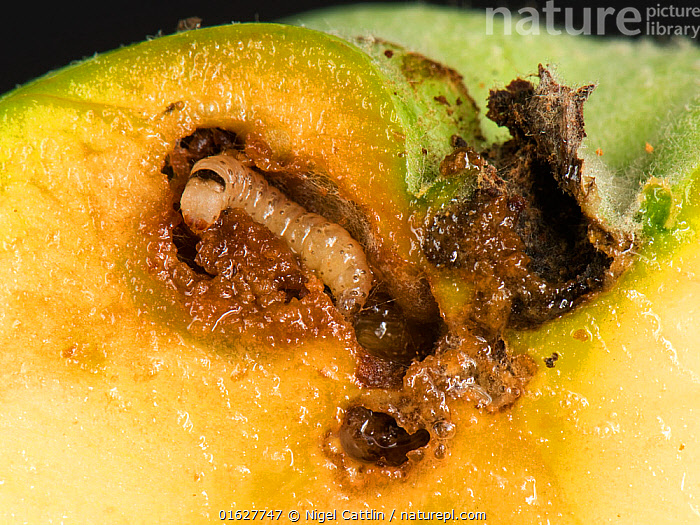 Immature caterpillar of a codling moth (Cydia pomonell) eating its way through a gallery in a ripening apple fruit, Berkshire, July, immature,young,instar,white,head,dark,band,abdominal,segment,codling,moth,Cydia,pomonella,caterpillar,larva,frass,rotten,apple,fruit,Malus,domestica,gallery,tunnel,feed,feeding,blossom,end,entry,hole,insect,Insecta,Lepidoptera,Tortricidae,section,through,arthropod,pome,pest,pests,trees,orchard,ubiquitous,agriculture,horticulture,garden,damage,damaging,internal,tree,crop,Berkshire,England,UK,July,,Animal,Wildlife,Arthropod,Insect,Tortrix moth,Animalia,Animal,Wildlife,Hexapoda,Arthropod,Invertebrate,Hexapod,Arthropoda,Insecta,Insect,Lepidoptera,Lepidopterans,Tortricidae,Tortrix moth,Moth,Micromoth,Micro moth,Cydia,Europe,Western Europe,UK,Great Britain,England,Berkshire,Larva,Pests,Cydia pomonell,, Nigel Cattlin